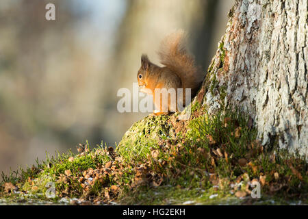 Red squirrel (Sciurus vulgaris) eating nuts in the woods - Stock Photo