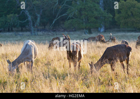 Hinds and stags of red deer grazing in Dyrehaven, The Deer Park, just north of Copenhagen, Denmark, Old oak trees - Stock Photo