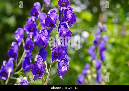 Blauer Eisenhut oder Aconitum napellus - Common Monkshood or Aconitum napellus flower - Stock Photo