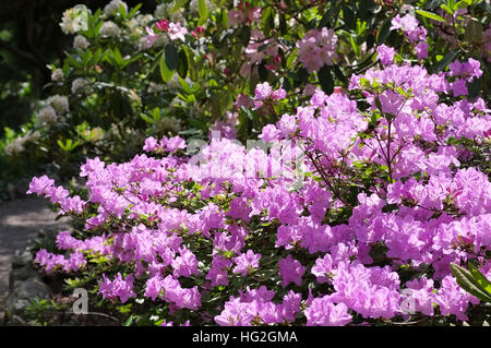 Rhododendron schlippenbachii im Frühling - Rhododendron schlippenbachii plant in spring - Stock Photo