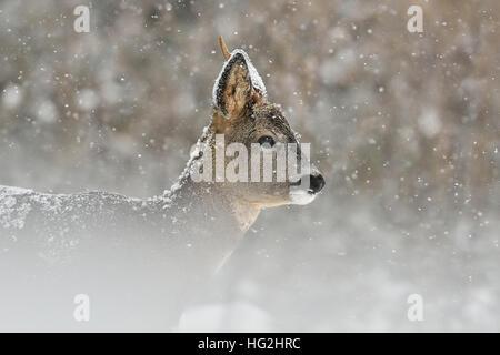 Roe deer in snowfall, winter - Stock Photo