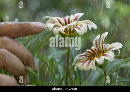 Woman touching a flower in rain - Stock Photo