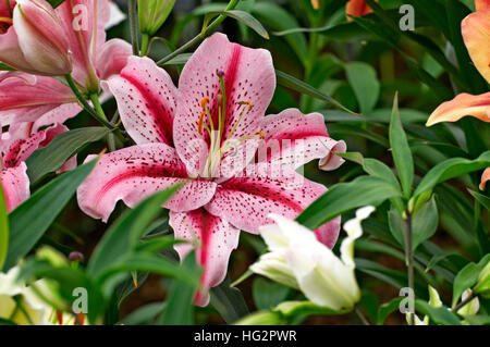 Flowering Lily 'Tiger Edition' close up in a Cottage Garden - Stock Photo