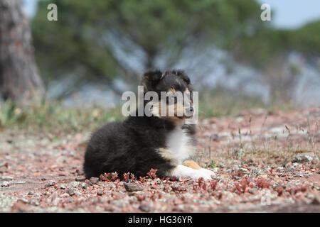 Dog Shetland Sheepdog / Sheltie  /  puppy (tricolor) lying - Stock Photo