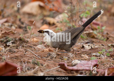 Grey-crowned Babbler - catching insects on ground Pomatostomus temporalis Atherton Tablelands Queensland, Australia - Stock Photo