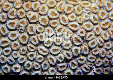 Coral polyps of brain coral (Favia favus) underwater in the coral reef - Stock Photo