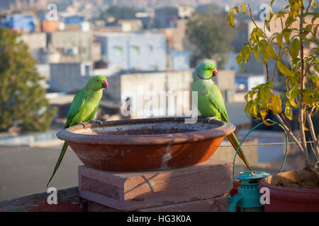 A pair of Rose-ringed Parakeets perched on a bird bath on a rooftop in Jodhpur, Rajasthan, India - Stock Photo