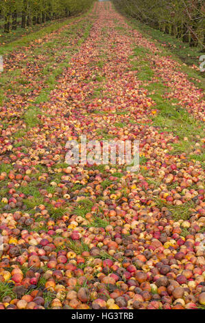 Fallen apples in cider apple orchard in Herefordshire, England - Stock Photo