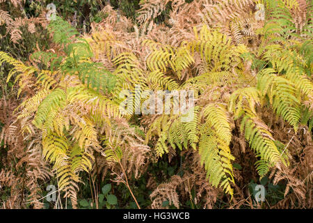 Pteridium aquilinum. Bracken leaves in early Autumn. - Stock Photo