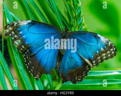The Peleides Blue Morpho or The Emperor butterfly (Morpho peleides) from Mexico - Stock Photo