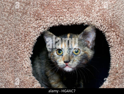 tortoiseshell torbie tabby kitten peeking out of a carpet post. The tortie pattern is only present in female tabby - Stock Photo