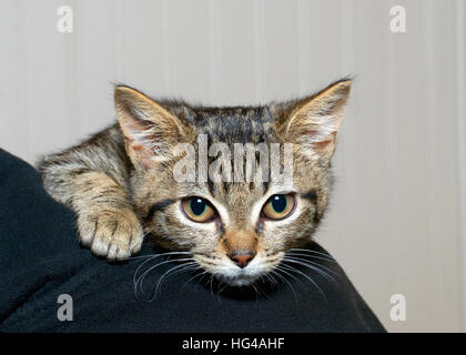 gray and black striped tabby kitten clinging to the shoulder of person, nervous and afraid feeling somewhat secure - Stock Photo