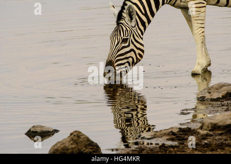 Close up of the face of a zebra and its reflection in the waters of the waterhole - Stock Photo