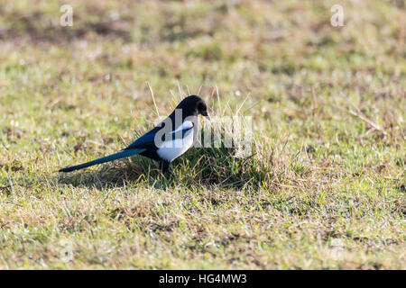 Eurasian magpie (Pica pica) hunting amongst grass. Black and white bird in the family Corvidae searching for invertebrates - Stock Photo