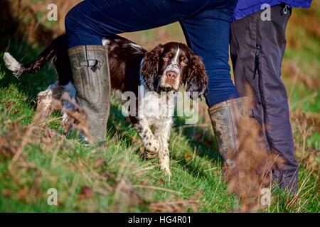 A Springer Spaniel puppy running in and out of the owners legs while out walking on the green hillside on a sunny - Stock Photo