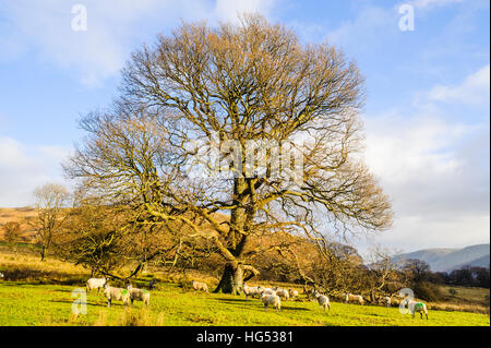 Sheep and oak tree at Glencoyne Park above Ullswater in the Lake District - Stock Photo