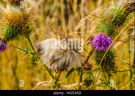 Thistledown on Spear Thistle (Cirsium vulgare) - Stock Photo