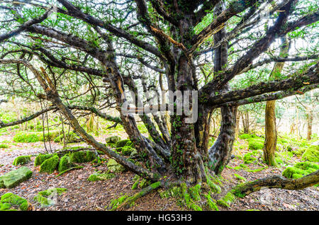 Ancient yew tree near top of Warton Crag in north Lancashire - Stock Photo