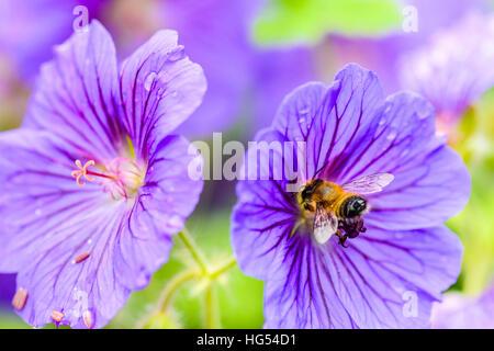 Honey-bee (Apis mellifera) on meadow cranesbill (Geranium pratense) flower Edinburgh Scotland - Stock Photo