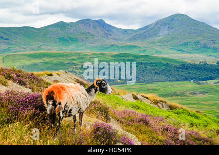 Sheep on Blawith Fells in the Lake District with Dow Crag and Coniston Old Man behind - Stock Photo