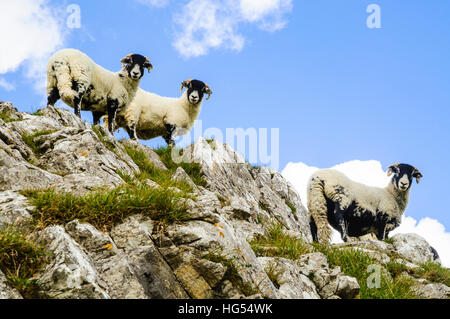 Sheep on outcrop near Attermire Scar above Settle in the Yorkshire Dales National Park England - Stock Photo