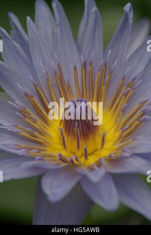 A water lily in a pond up close. - Stock Photo