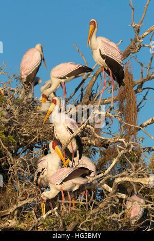 Yellow-billed stork (Mycteria ibis) at nesting colony, Chobe River, Botswana - Stock Photo