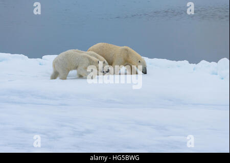 Mother polar bear walking with two cubs on a melting ice floe, Spitsbergen Island, Svalbard archipelago, Arctic, - Stock Photo
