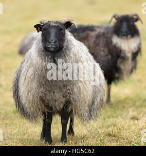 Icelandic sheep, Kirkjufell, Iceland, Polar Regions - Stock Photo