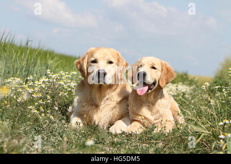 Dog Golden Retriever  two adults lying on the ground - Stock Photo