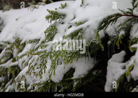 Green coniferous tree close up covered with snow in winter - Stock Photo