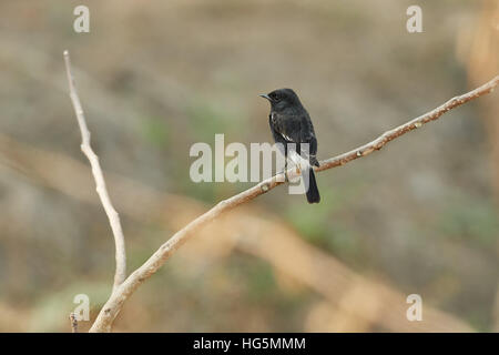 Male of Pied Bushchat (saxicola caprata) the lovely black bird standing and  showing its side feathers profile - Stock Photo