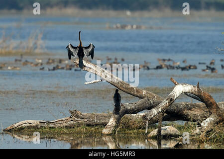 An Oriental darter (Anhinga rufa) also known as a Snakebird, perched on a dead branch isolated against a blurred - Stock Photo
