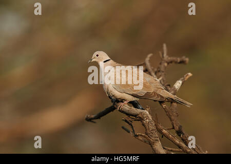 Eurasian collared dove (Streptopelia decaocto) sitting on a branch with vegetation in the background - Stock Photo