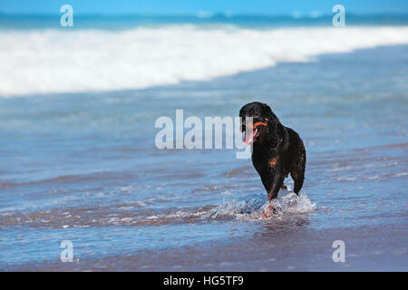 Rottweiler walking on black sand beach. Happy dog wet after swimming run along sea surf. Actions, training games - Stock Photo