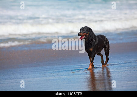 Rottweiler walking on black sand beach. Happy wet dog after swimming run along sea surf. Actions, training games - Stock Photo