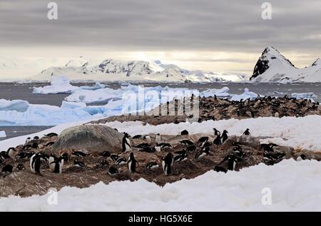 Gentou Penguin Colony 3 - Stock Photo