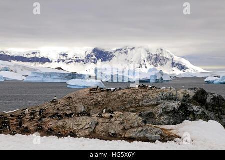 Gentou Penguin Colony 2 - Stock Photo