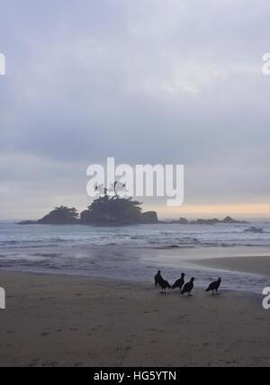 Brazil, State of Sao Paulo, Ilhabela Island, Black vultures(Coragyps atratus) on the Castelhanos Beach. - Stock Photo