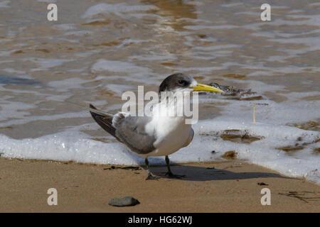 Greater Crested Tern (Thalasseus bergii) or Swift Tern - Stock Photo