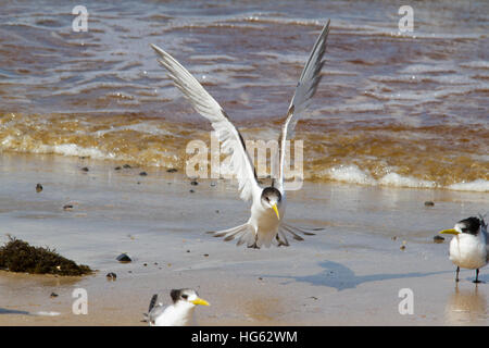 Greater crested tern (Thalasseus bergii) or swift tern - Stock Photo