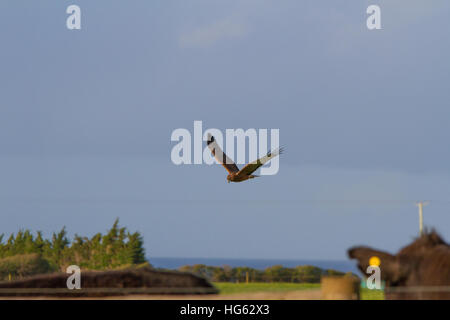 Swamp Harrier (Circus approximans) in flight - Stock Photo