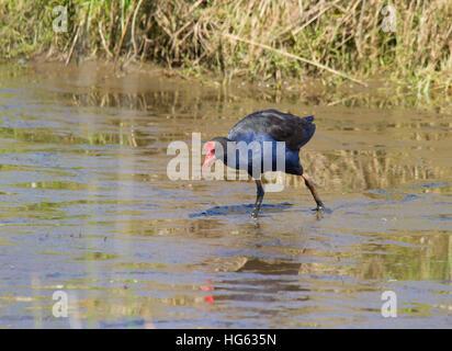 Australasian Swamphen (Porphyrio melanotus) - Stock Photo
