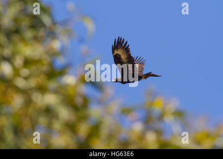 Wedge-tailed Eagle or Bunjil (Aquila audax), also sometimes known as the Eaglehawk in flight - Stock Photo