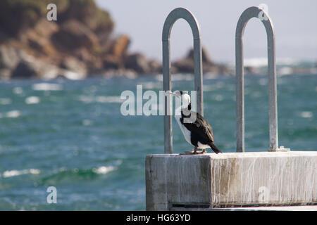 Black-faced Cormorant (Phalacrocorax fuscescens) perched on a sea wall - Stock Photo