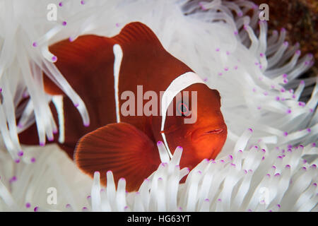 A spine-cheeked anemonefish swims among the tentacles of its host anemone. - Stock Photo