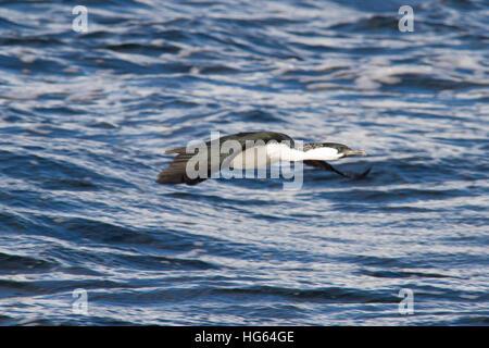 Black-faced cormorant (Phalacrocorax fuscescens) - Stock Photo