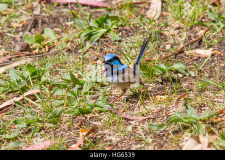 Male Superb fairy-wren (Malurus cyaneus) perched on the ground - Stock Photo
