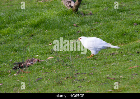 Grey goshawk (white morph) (Accipiter novaehollandiae) feeding - Stock Photo
