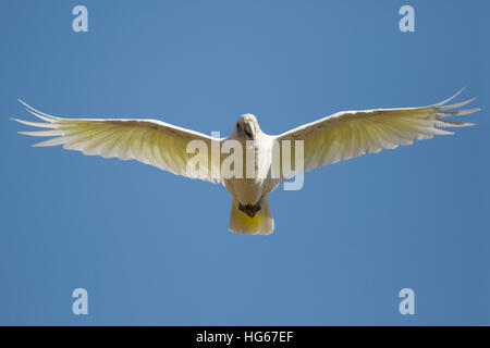 Little Corella - in flight Cacatua sanguinea Kakadu National Park Northern Territory, Australia BI029796 - Stock Photo